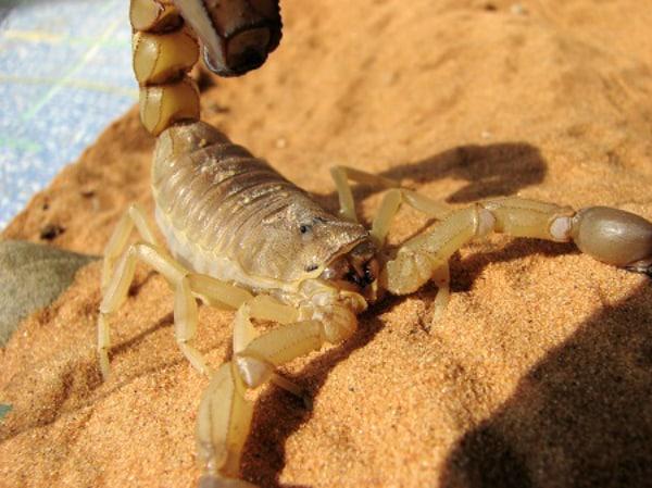 Saiba como evitar escorpião durante o verão